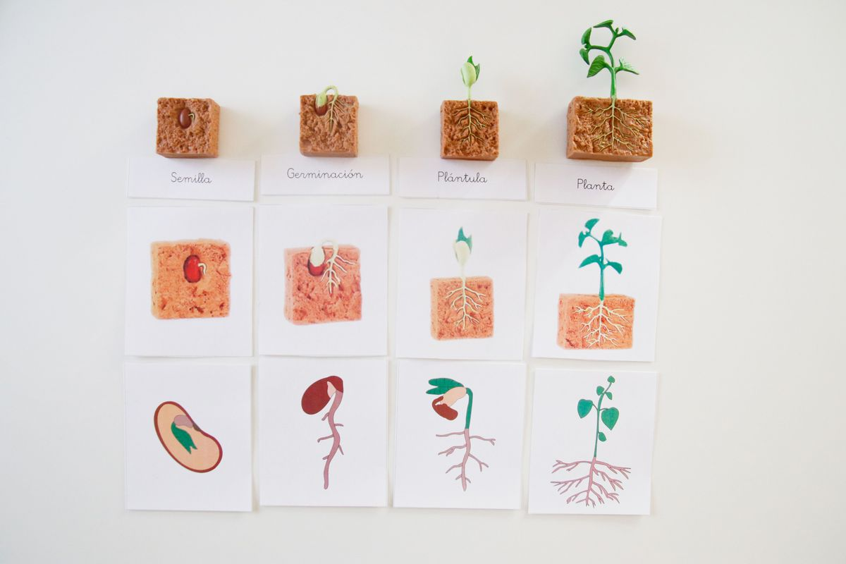 ciclo-de-vida-de-la-planta-con-miniaturas-safari-ltd