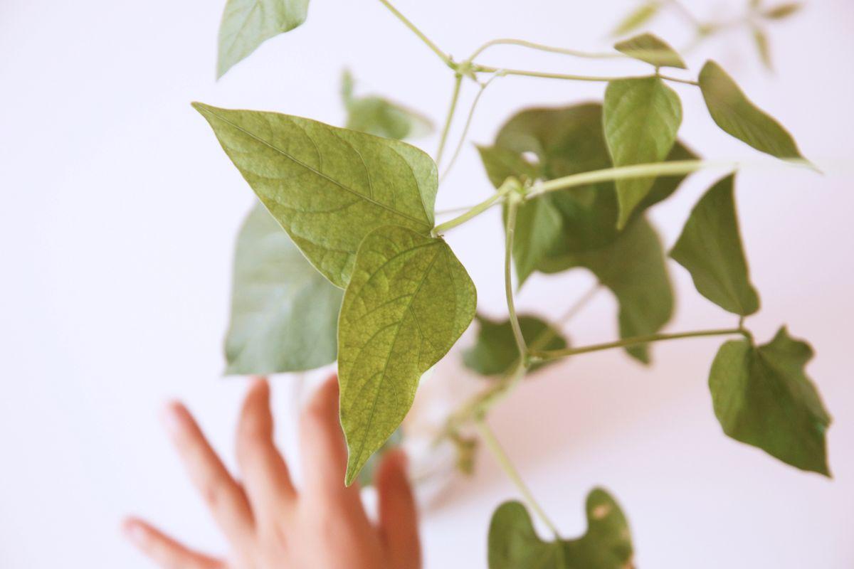 planta-crecida