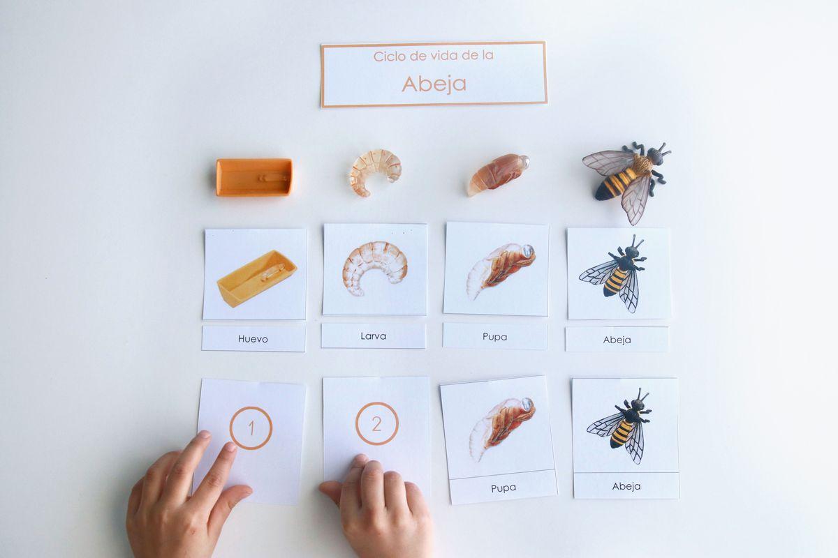 ciclo-de-vida-de-la-abeja-ordenando