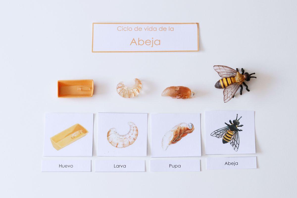 ciclo-de-vida-de-la-abeja
