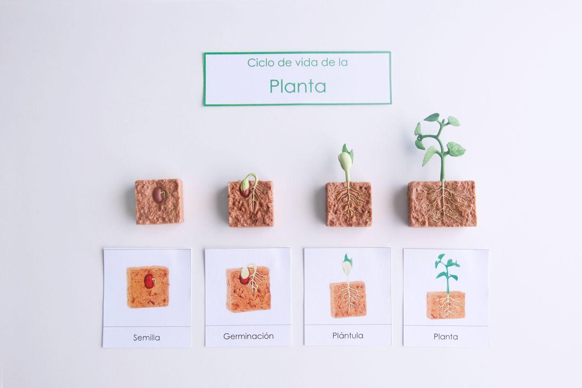 ciclo-de-vida-de-la-planta-ordenacion