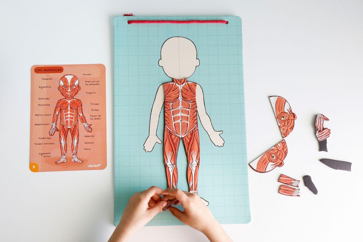 puzle-musculos-del-cuerpo-humano