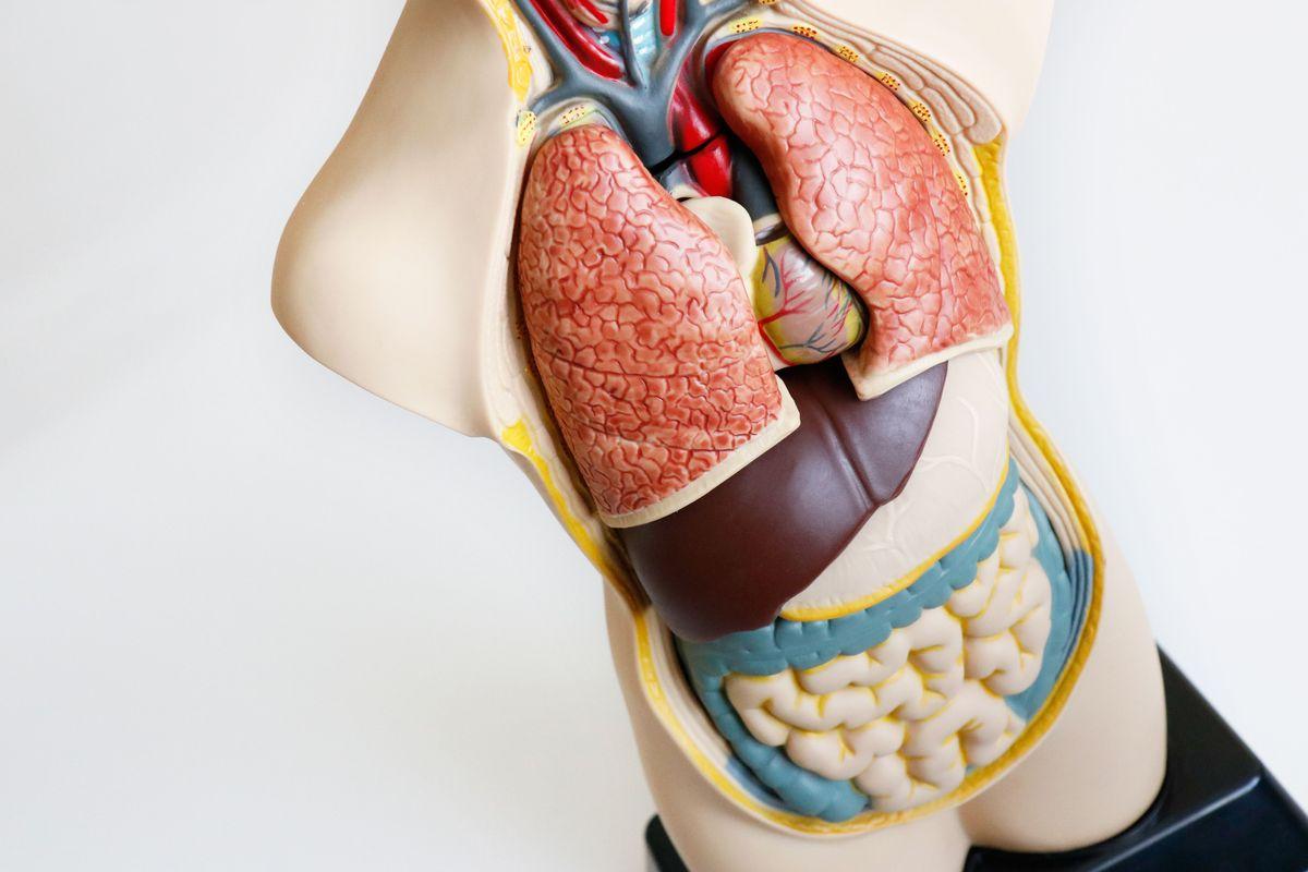 organos-del-set-de-anatomia
