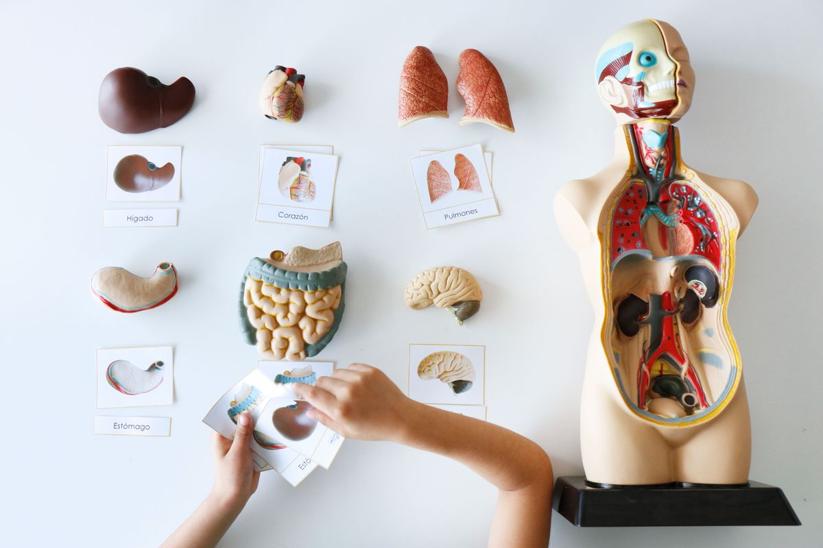 autocorreccion-tarjetas-tres-partes-anatomia