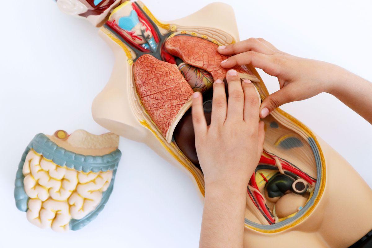 colocando-los-organos-en-el-set-de-anatomia