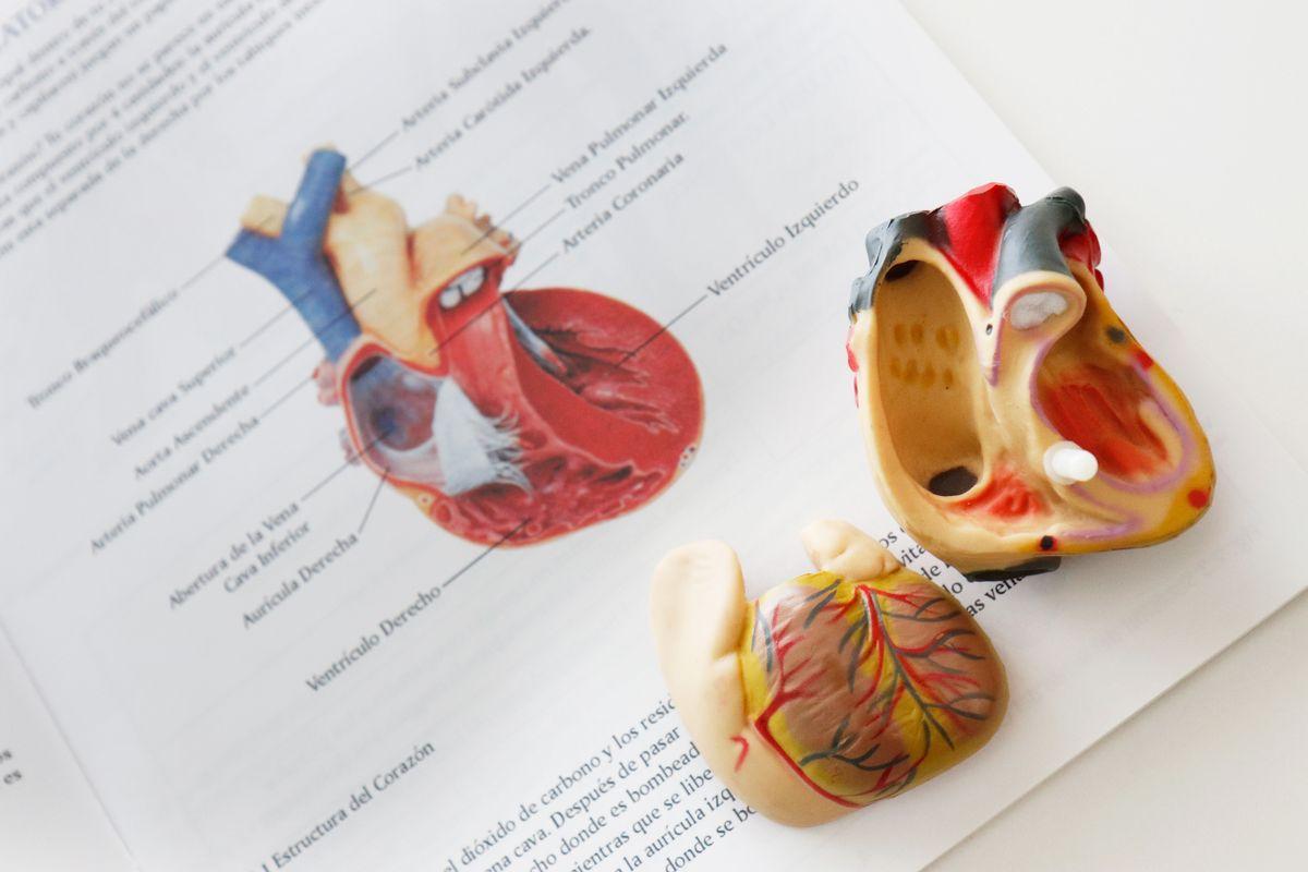 partes-circulatorio