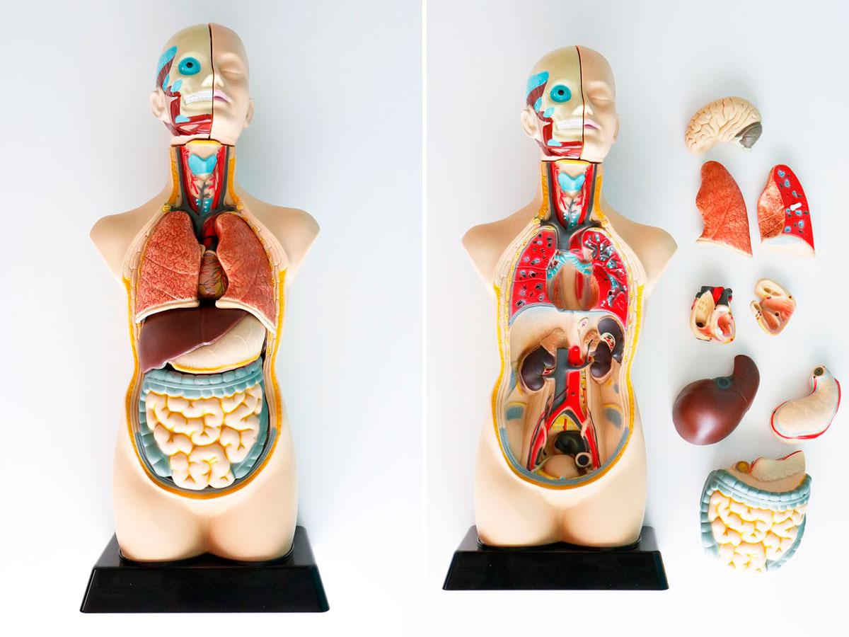 set-de-anatomia-desmontable
