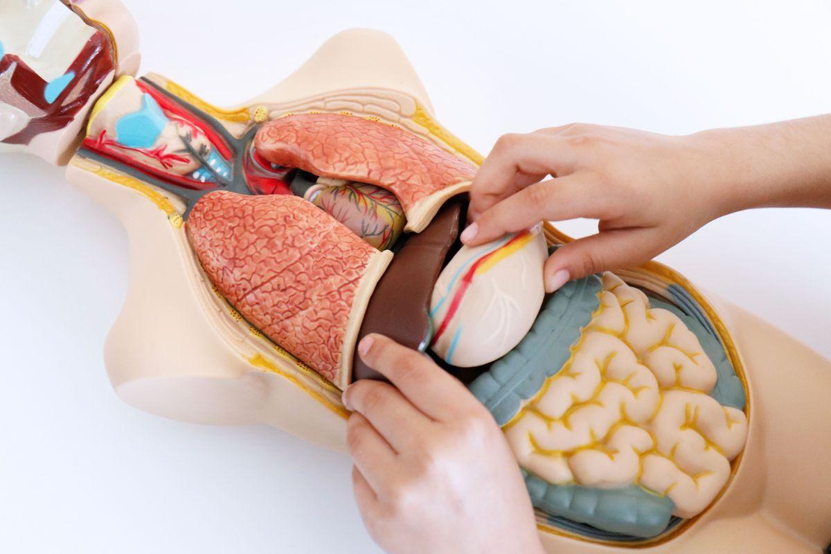 situando-los-organos-en-el-set-de-anatomia