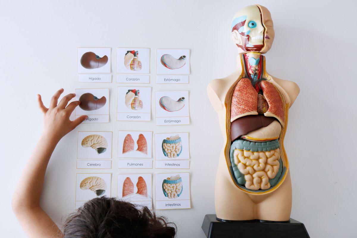 tarjetas-tres-partes-montessori-cuerpo-humano